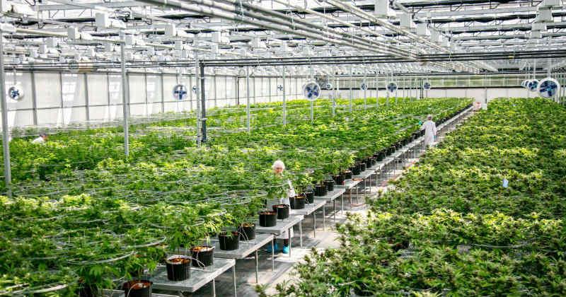 cannabis serre