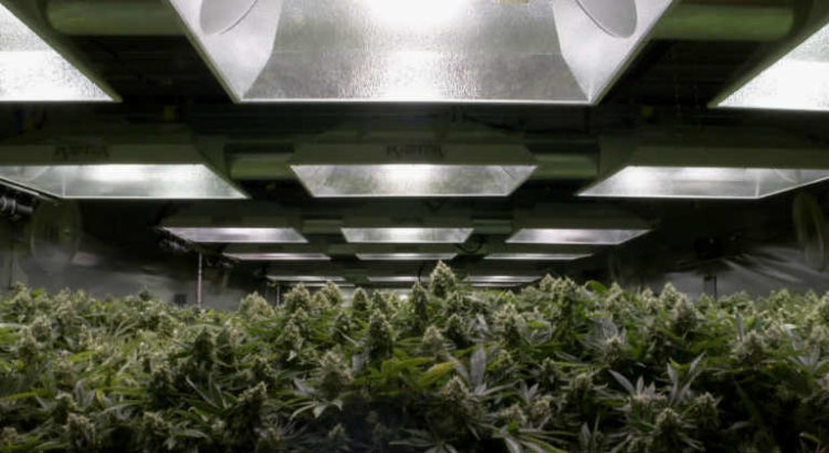 production cannabis