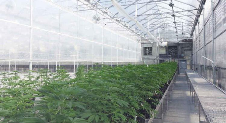 serre cannabis