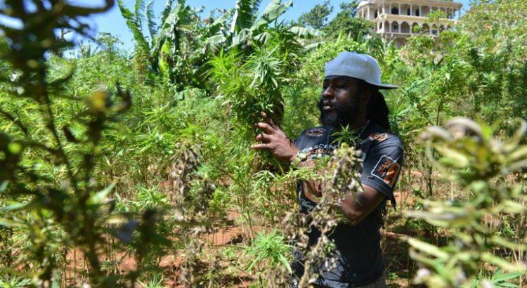 Landrace jamaïcaines de cannabis