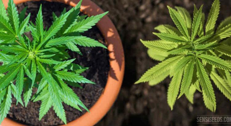 autoculture du cannabis