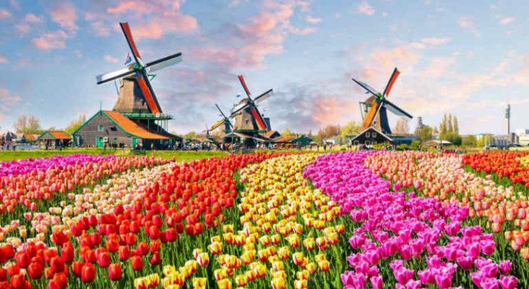 pays bas tulipe