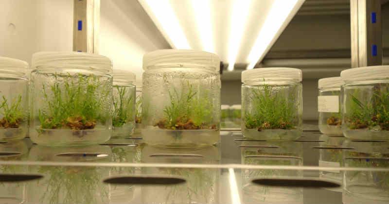 culture de tissus in vitro