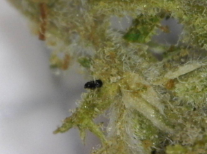 insecte cannabis