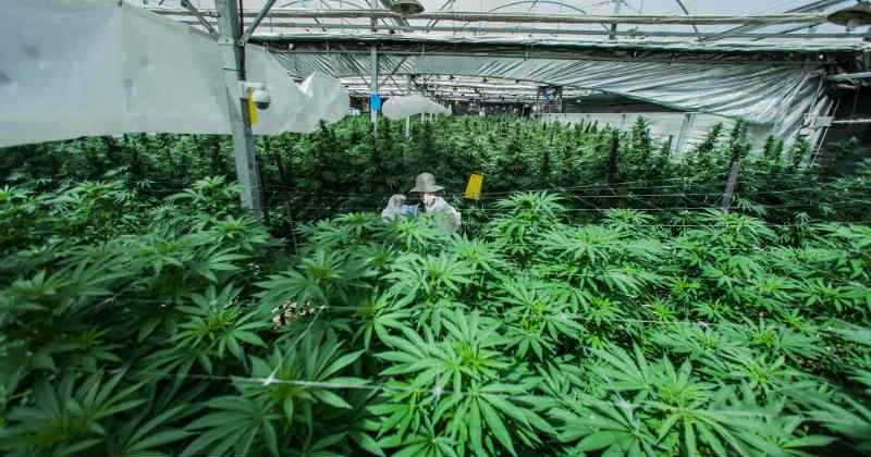 Israël cannabis