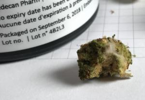 moisissure cannabis