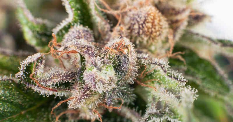 cannabis et terpènes