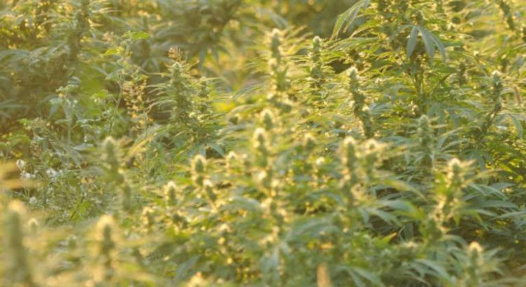cannabis edelgreen