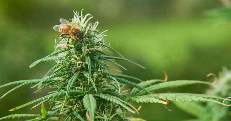 chanvre abeille