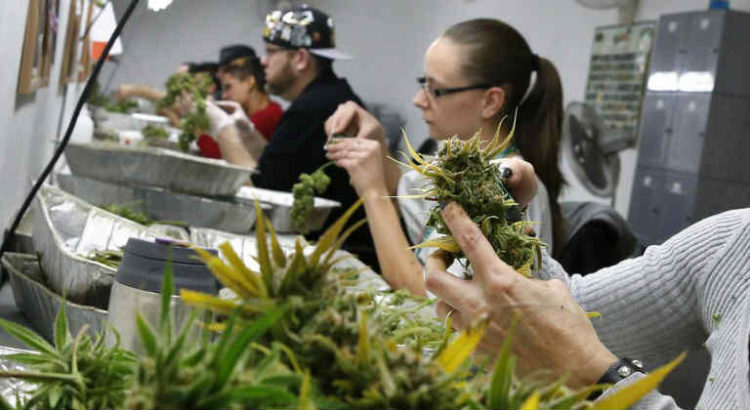 industrie cannabis main d'oeuvre