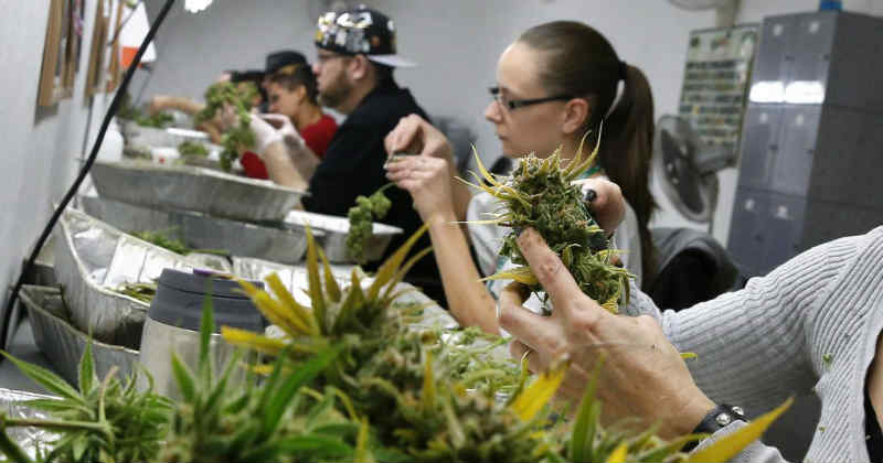 industrie cannabis main d'oeuvre