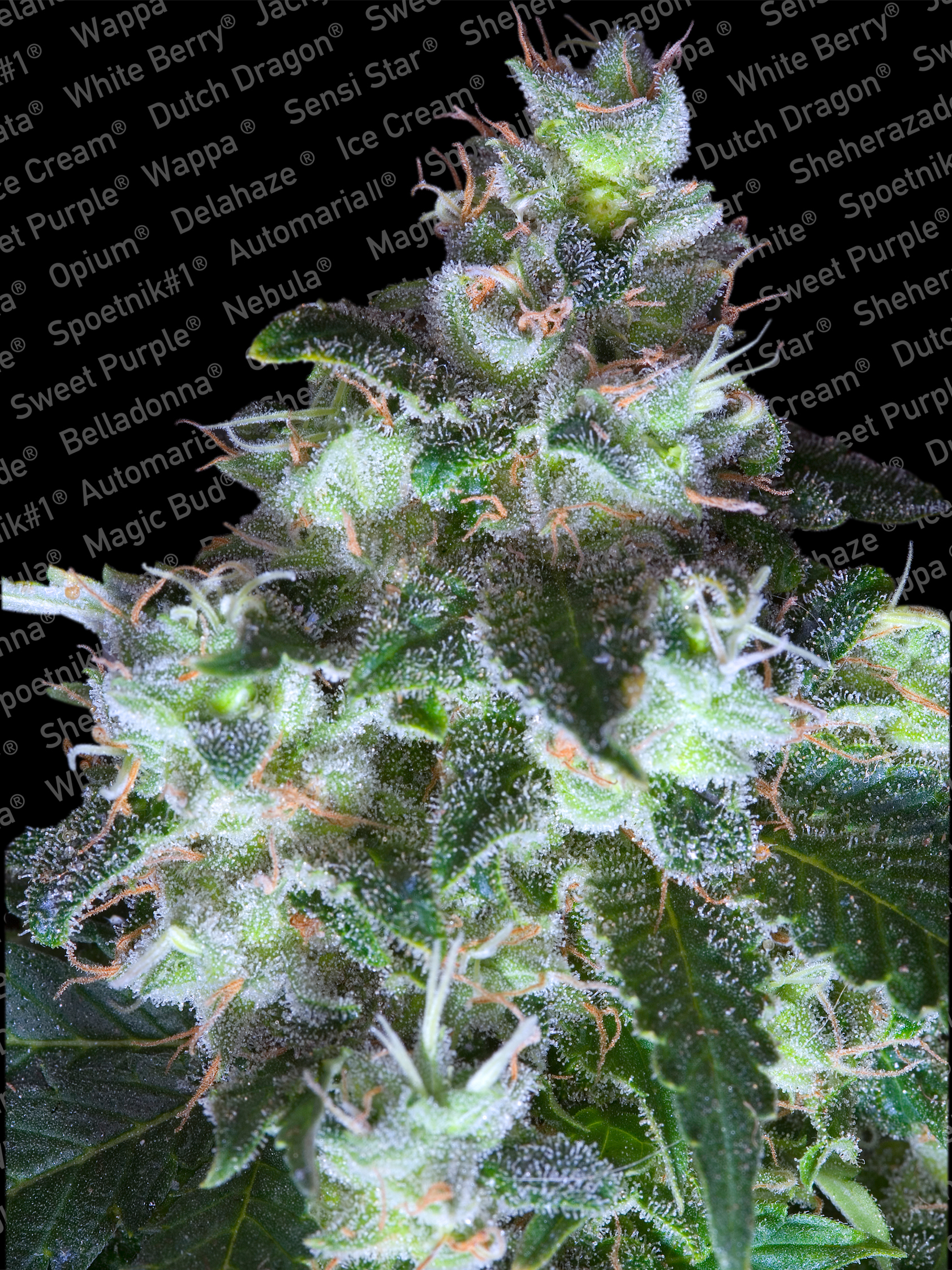 Original White Widow IBL