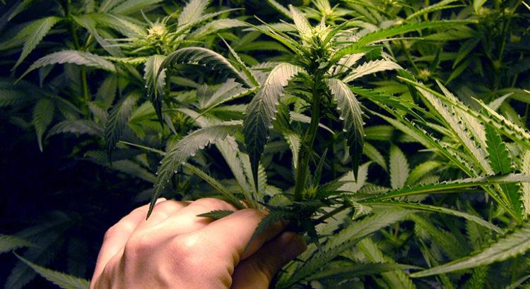 Cannabis bien-être