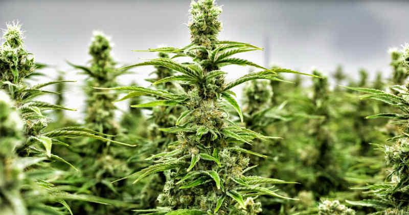 cannabis brevets