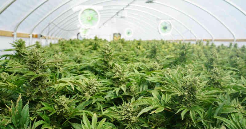 tilray cannabis récolte
