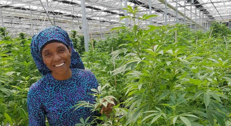 house of hemp afrique du sud cannabis
