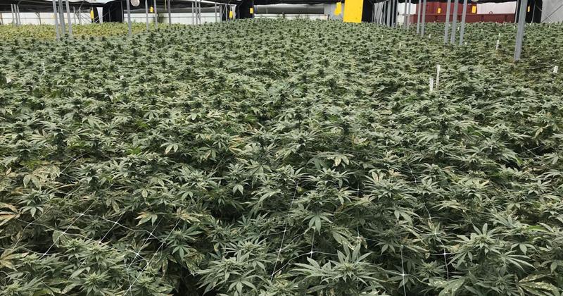 Etude sur la légalisation du cannabis en Belgique