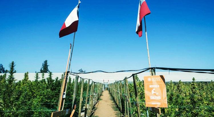 Paradise Seeds et son programme de cannabis médical