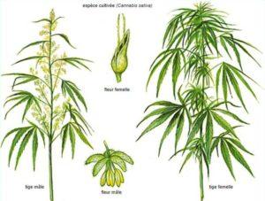 fleurs mâle femelle cannabis