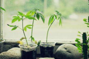 semis cannabis