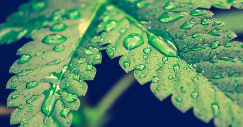 Canopy Growth pris dans des turbulences