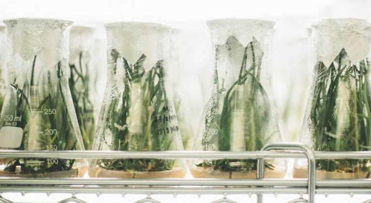 Etude : les propriétés antibactériennes des feuilles de cannabis pourrait freiner le MRSA