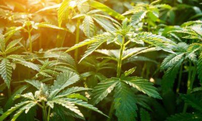 Canberra légalise le cannabis