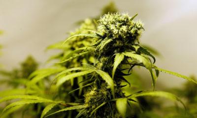 Cannabis médical au Paraguay