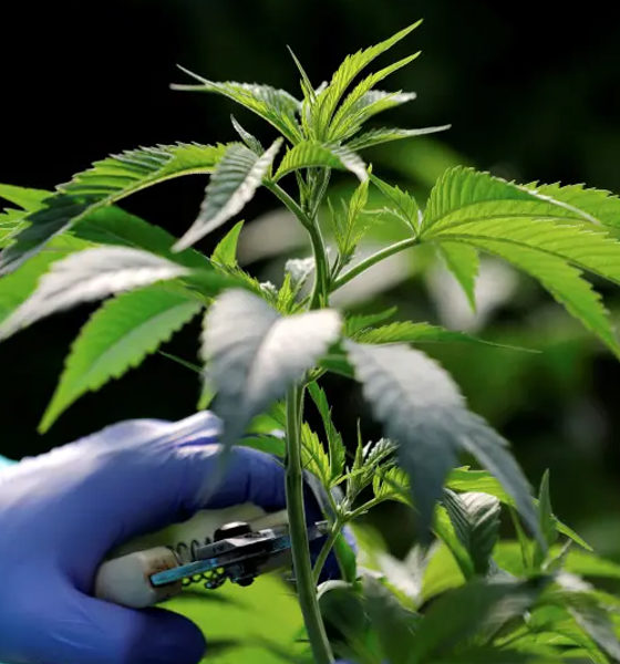 Teva et le cannabis en Israël