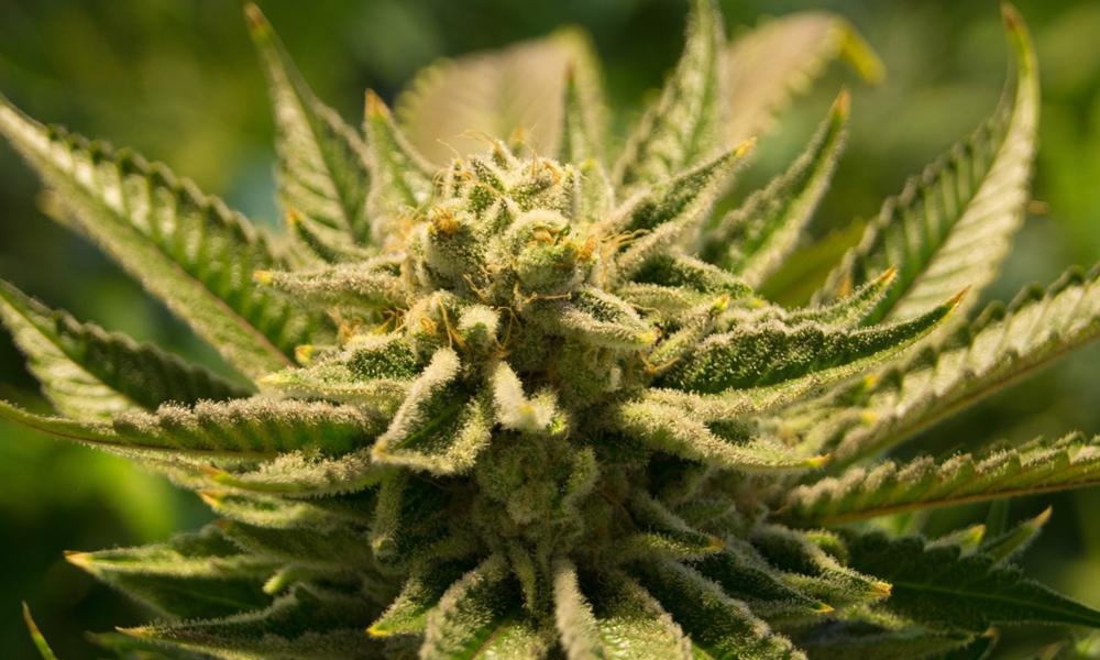 Autoculture de cannabis en Thaïlande