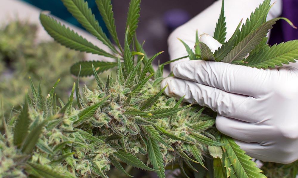 Etude sur l'autisme et le cannabis