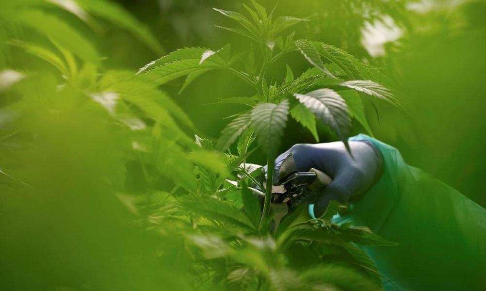 Cannabis médical en Malaisie