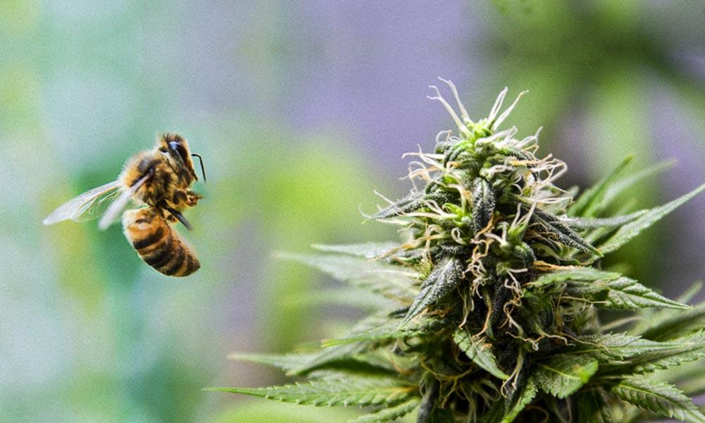 Abeille et cannabis