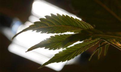Autoculture de cannabis en Italie