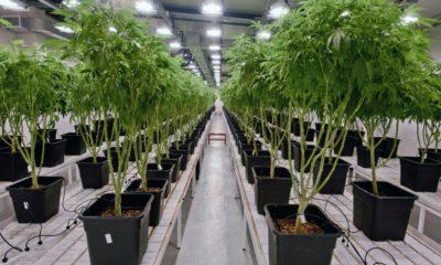 Cannabis médical en Uruguay