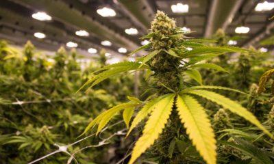 Quota de production de cannabis pour la DEA