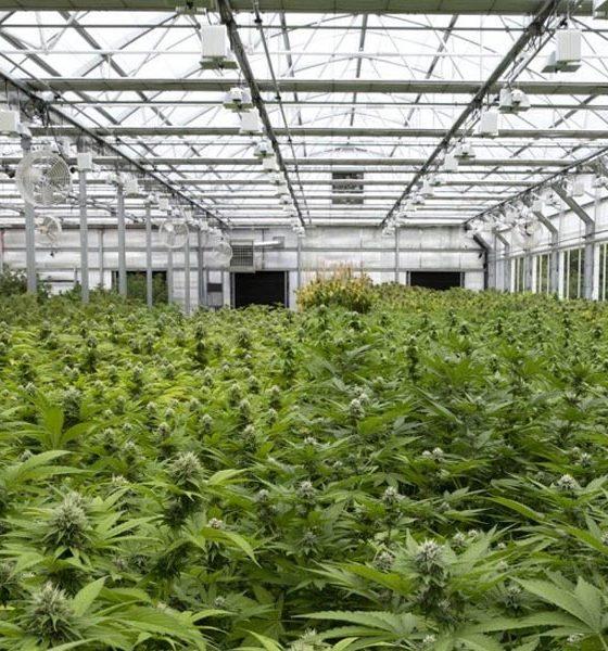 Exportations de cannabis en Israel
