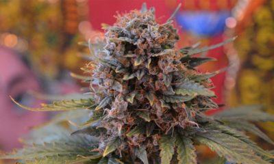 Légalisation du cannabis en Nouvelle Zélande
