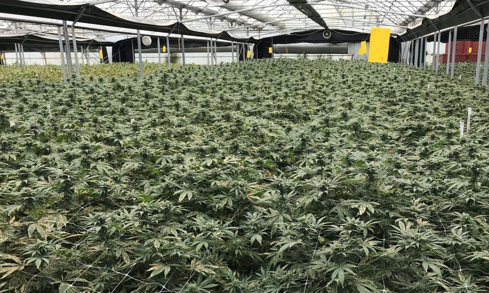 Projet pilote de distribution de cannabis en Suisse