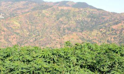 Légalisation du cannabis au Maroc