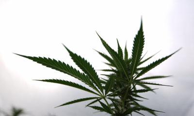 Projet de légalisation du cannabis au Mexique