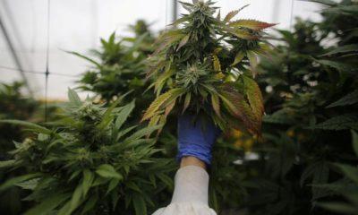 La Thaïlande retire le cannabis des stupéfiants