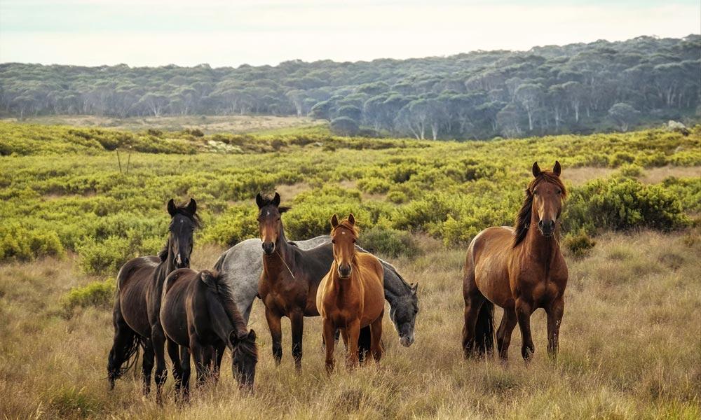CBD et chevaux