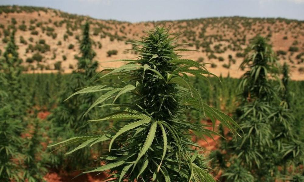 Légalisation du cannabis médical au Liban