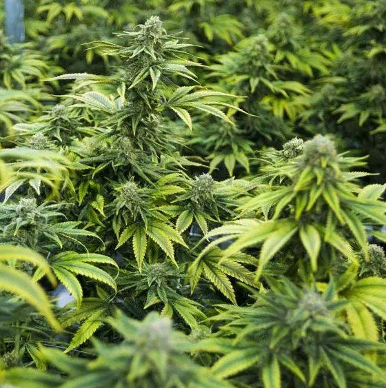Culture de cannabis médical en Ouganda