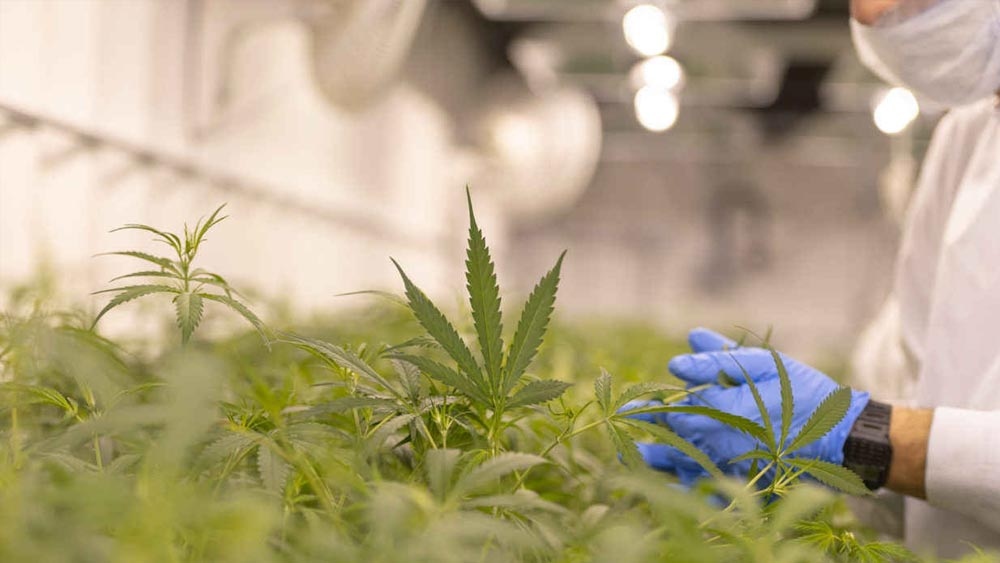Le cannabis ne guérit pas du coronavirus