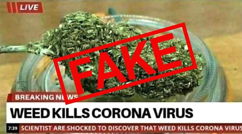 Cannabis tue le coronavirus