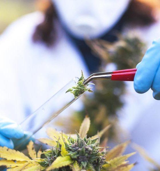 Recherche sur le cannabis