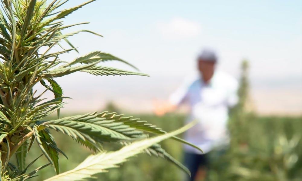Légalisation du cannabis au Liban