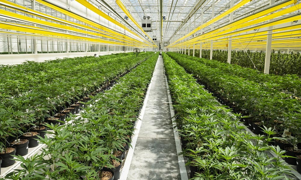 Canopy Growth ferme des cultures